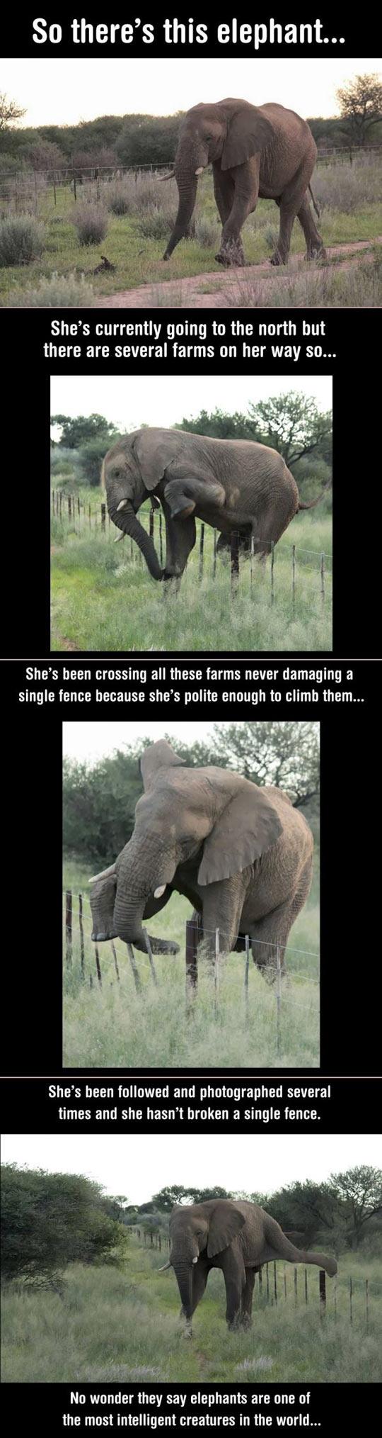 funny-elephant-climb-fence-farm