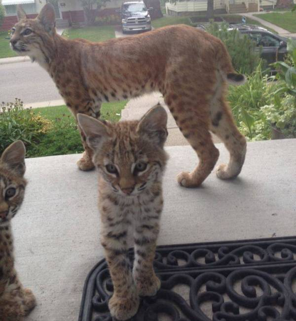 Bobcat mama and kittens checking out a house in Calgary