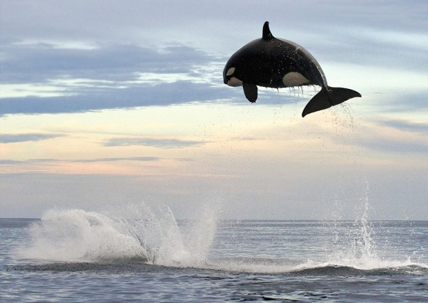 8-ton-orca-jumping-15ft-out-of-the-water