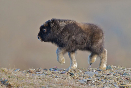 a baby Musk Ox
