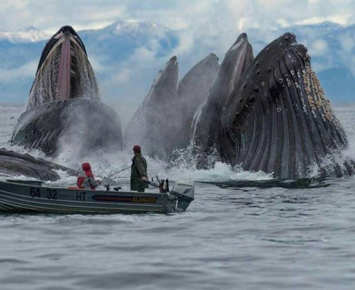 humpback-whales-in-alask-and-salmon-fishermen