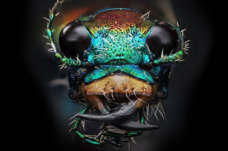 a-magnified-tiger-beetle