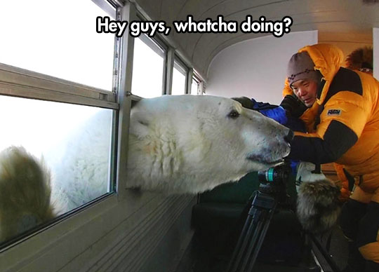 cool-polar-bear-bus-window-nosy