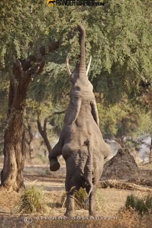 12-standing-elephant-et-oost-297x446
